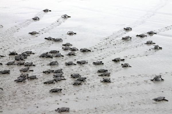 """Trái với suy nghĩ """"chậm như rùa"""", rùa biển bò rất nhanh, và có thể tự định hướng ra biển nhờ từ trường trái đất và tiếng sóng biển."""