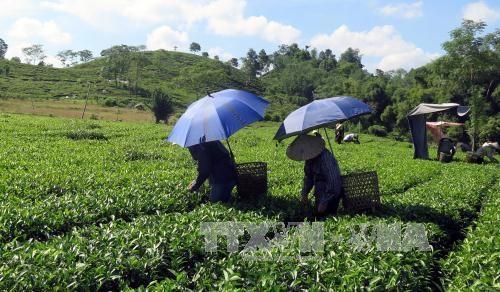 Nông dân thôn Vĩnh Tân, xã Tân Trào thu hái chè. Ảnh: Quang Đán – TTXVN