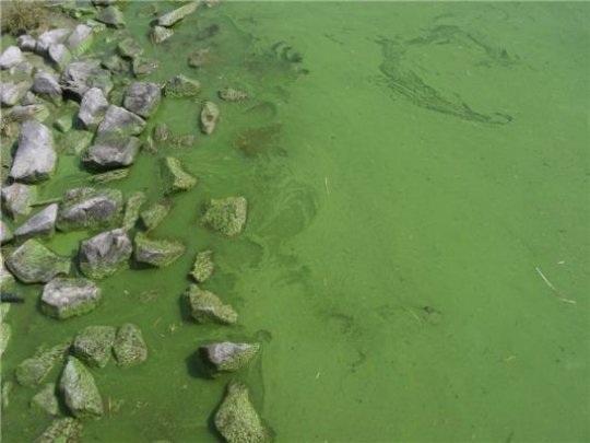 Tảo độc lục lam thích ứng với CO2 tăng - 1
