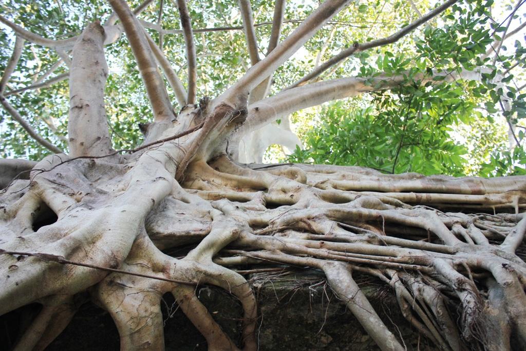 Thân, rễ đa bám chặt lấy cổng phủ.