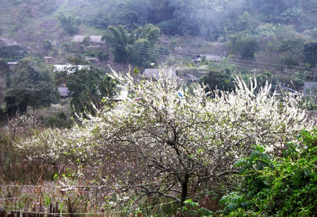 Bản làng người Mông ở Mường Lồng khuẩn sau rừng hoa mận trắng muốt.
