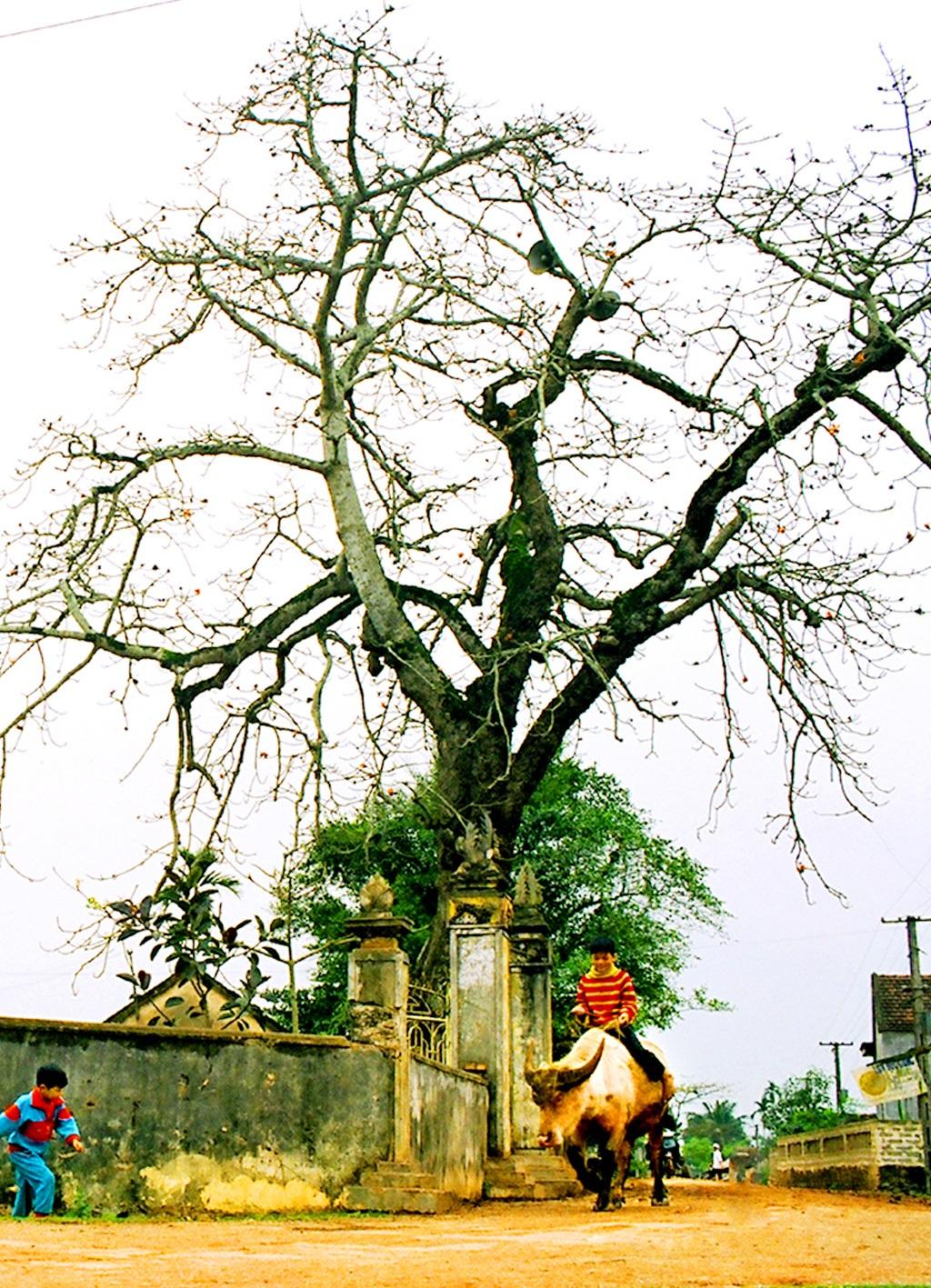 Bóng cây đa, hoa cây gạo - khi đi xa về, nhìn thấy bóng cây đa sum suê hay hoa gạo đỏ rực tháng ba, những người con xa quê biết rằng mình đã về đến quê cha đất tổ (ảnh Cảnh Yên)