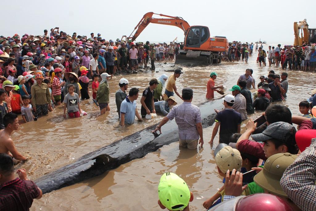 Con cá voi có trọng lượng khoảng hơn 10 tấn mắc cạn tại bãi biển xã Diễn Thịnh ngày 25/5.