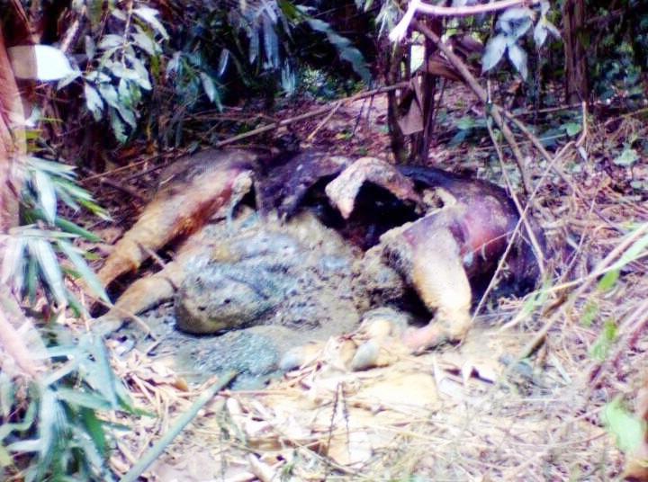 Tại thời điểm phát hiện, xác con vật đã bị phân hủy nặng (ảnh T.Lê).