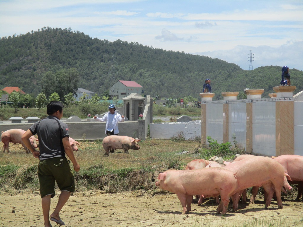 Người dân cùng lực lượng công an viên xã Hưng Tây lùa lợn vào bóng râm giữa trưa nắng.