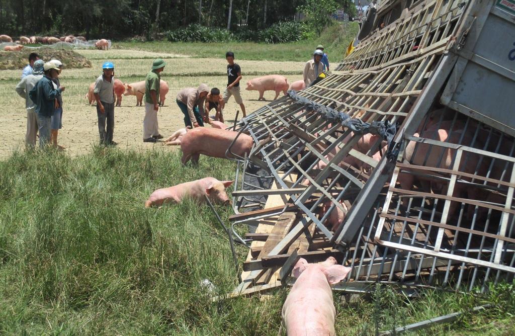 Giải cứu những con lợn mắc kẹt trong thùng xe ra ngoài.