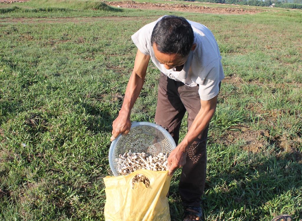 Thành quả 2 buổi sáng đi nhặt nấm của vợ chồng ông Tùng là hơn 15kg nấm rơm tươi.