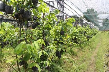 Vườn cây giống được đầu tư hế thống tưới tự động, nhà lưới giúp cây phát triển tốt