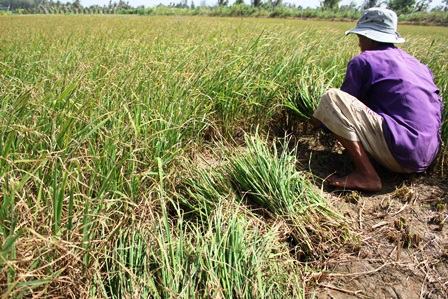Ông Lâm thu hoạch lúa bị nghẹn đòng