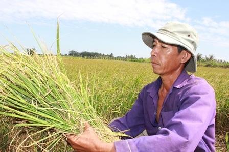 Lúa bị héo từ từ nên ông Lâm buộc phải cắt về làm thức ăn cho bò