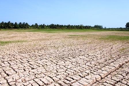 Cánh đồng đất nứt nẻ, lúa chết khô