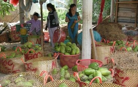 Thương lái thu mua mãng cầu xiêm tại huyện Tân Phú Đông (Tiền Giang)