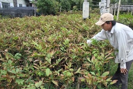 Hàng trăm cây chôm chôm giống của gia đình ông Quy bị cháy lá, chết dần