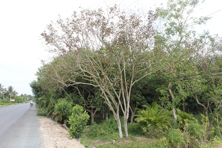 Vườn chôm chôm bị héo lá do xâm nhập mặn
