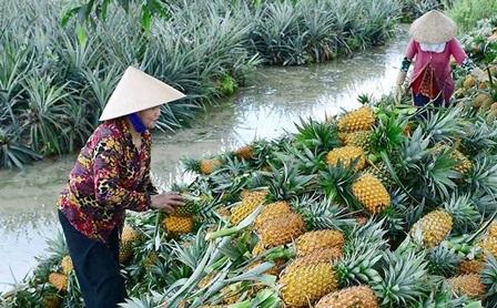Nông dân Tân Phước (Tiền Giang) thu hoạch khóm bán cho thương lái