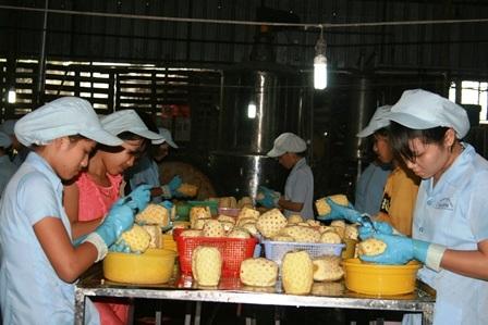 Khóm không chỉ tiêu thụ ở thị trường nội địa mà còn được chế biến xuất khẩu