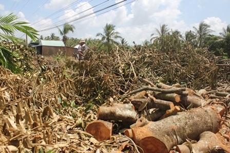 Vườn cây ăn trái bị đốn hạ để làm củi