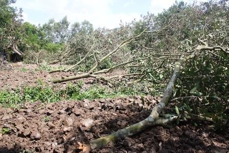 Vườn chôm chôm bị đốn hạ sau đợt hạn, mặn