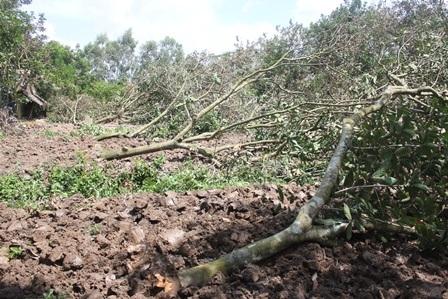 Nhiều nhà vườn buộc phải bứng cây ăn trái sau đợt hạn, mặn vừa qua