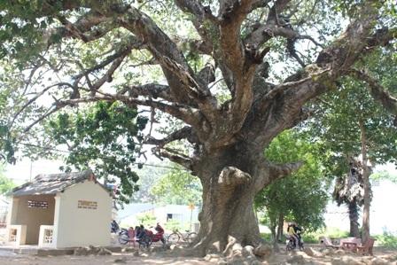 Cây Dầu dù hơn 300 năm tuổi ở TP Trà Vinh