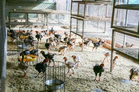 Để phát triển gà Đông Tảo, Tuấnchọn gà mái khỏe để đẻ, còn trứng cho gà ta ấp thì tỷ lệ nở và nuôi con sẽ hiệu quả hơn.
