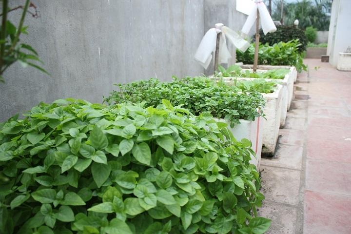 Để tận dụng diện tích, ông Chính còn trồng thêm các loại rau vào thùng xốp
