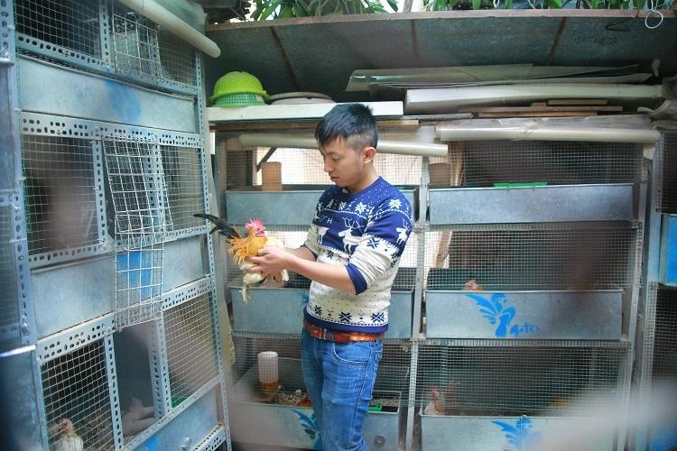 Trang trại nuôi gà cảnh của anh Huế có diện tích vỏn vẹn gần 10m2 với tổng số khoảng 50 con gà cảnh