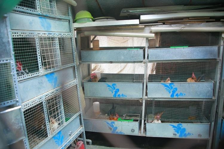 Để tận dụng diện tích, Huế thiết kế thành 10 chuồng gà to, mỗi chuồng 3 tầng và dành khoảng không thích hợp để gà tắm nắng