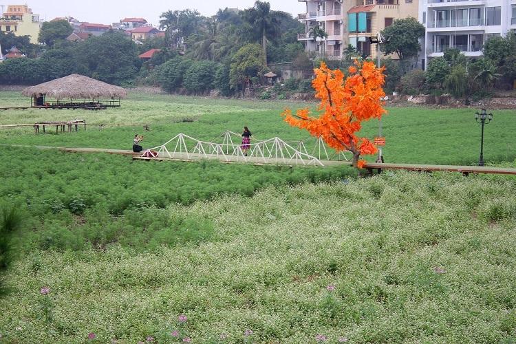 Sau hai ngày mở cửa miễn phí cho khách tham quan và chụp ảnh, cánh đồng hoa tam giác mạch ở Hà Nội đã tạm thời đóng cửa để chỉnh sửa, chăm sóc vì... quá tải
