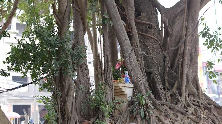 Một nhánh phụ của cây có đường kính khá lớn, xung quanh rất nhiều rễ cây cuốn quanh