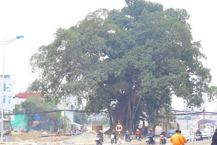 Nhiều người dân ở đây cho biết, cây đa có tuổi đời hàng trăm năm tuổi, giống như một báu vật linh thiêng của làng nên không thể chặt bỏ.