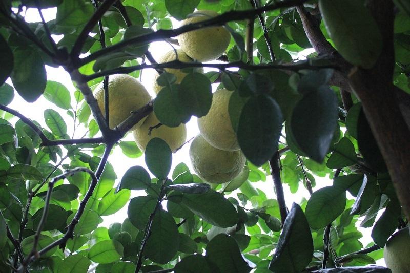 Theo nhiều dân chơi cây cảnh, với những nét đẹp tự nhiên về số lượng quả, hoa, lộc và bộ rễ lâu năm, cây này có thể coi là quý, hiếm trên thị trường hiện nay