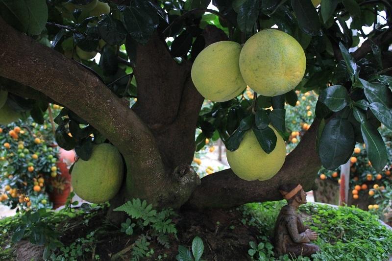 """Từ gốc cây bưởi mọc ra 5 nhánh, tượng trưng cho dáng """"ngũ phúc"""". Năm nay, cây bưởi ra nhiều chùm quả kép, với dân chơi cây cảnh đây là điều may mắn và hiếm có."""