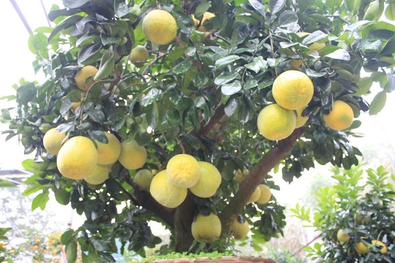 Cây bưởi có tuổi đời khoảng 30 năm, cao 3,5m được đặt trong chậu cây cảnh nhưng vẫn ra trái trĩu trịt, tỏa hương thơm dịu
