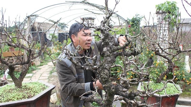 Ông Lê Hàm cho biết, trung bình, người trồng đào thất thốn phải mất ít nhất 10 năm mới độ ra được một cây đào có thế đẹp và hoa thắm sắc