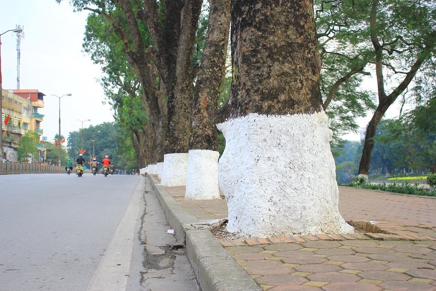 Hàng xà cừ với hàng chục năm tuổi, vừa tay hai người ôm, tán rợp bóng mát xuống đường Kim Mã sẽ không còn nữa khi dự án đường sắt đô thị đi qua đây trong thời gian tới.