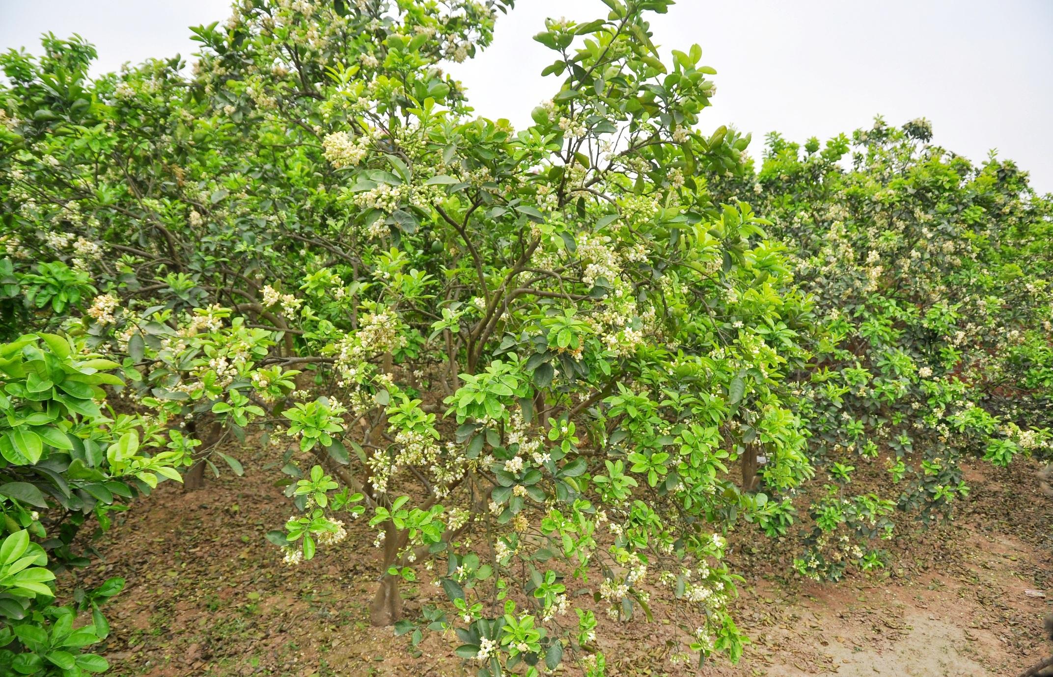 Người Hà Nội vẫn thường có thói quen mua hoa bưởi về thắp hương, nấu chè hoặc chỉ đơn giản là lưu giữ chút hương thơm tinh tế của khúc giao mùa tháng 3