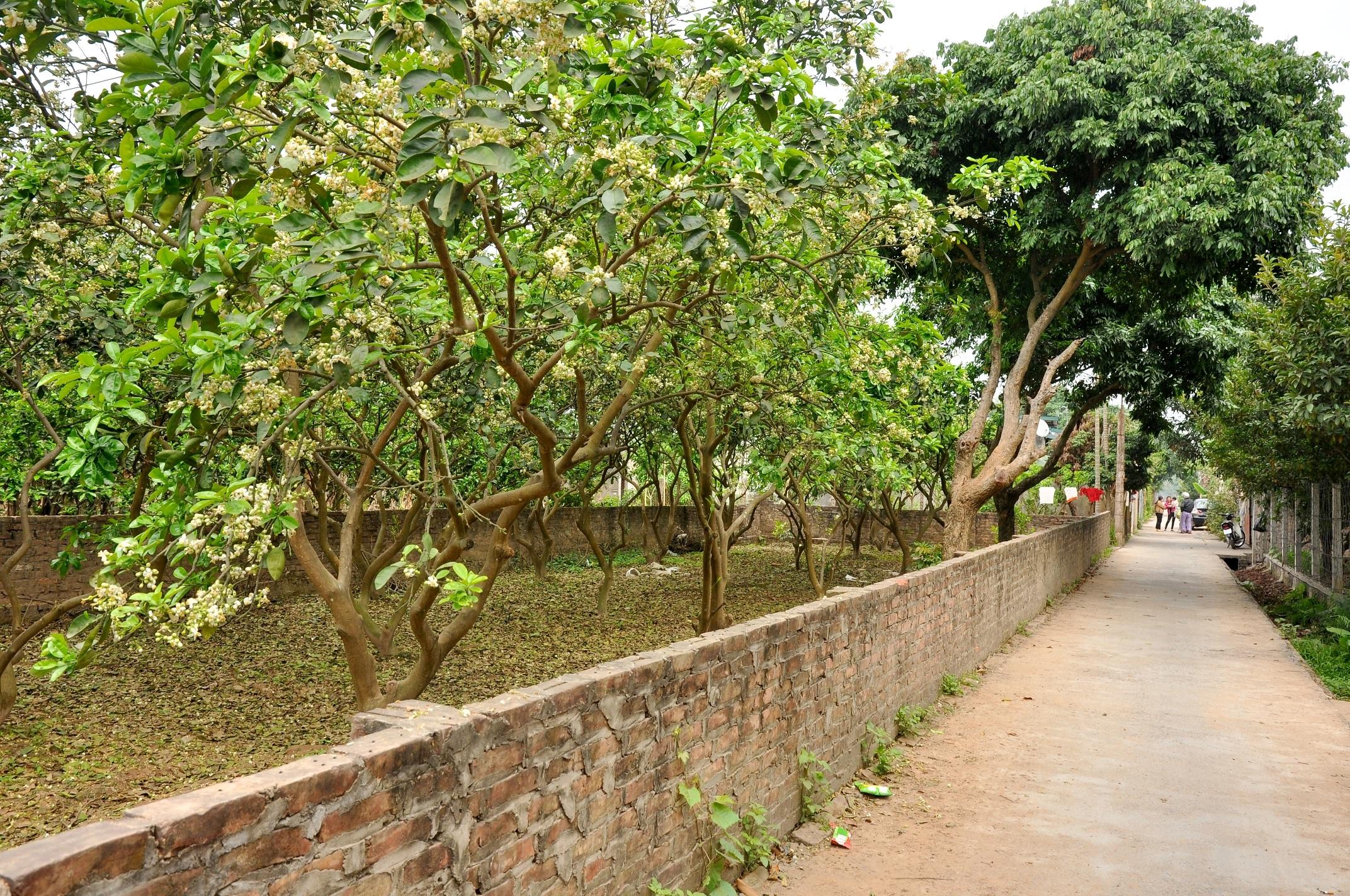 Ở Hà Nội, hoa bưởi được trồng thành từng vùng chuyên canh như: Canh Diễn (Từ Liêm), Xuân Mai (Chương Mỹ). Đặt chân đến đây mùa này, du khách sẽ được chiêm ngưỡng những vườn bưởi nở hoa trắng muốt, tỏa hương thơm ngào ngạt khắp các con đường