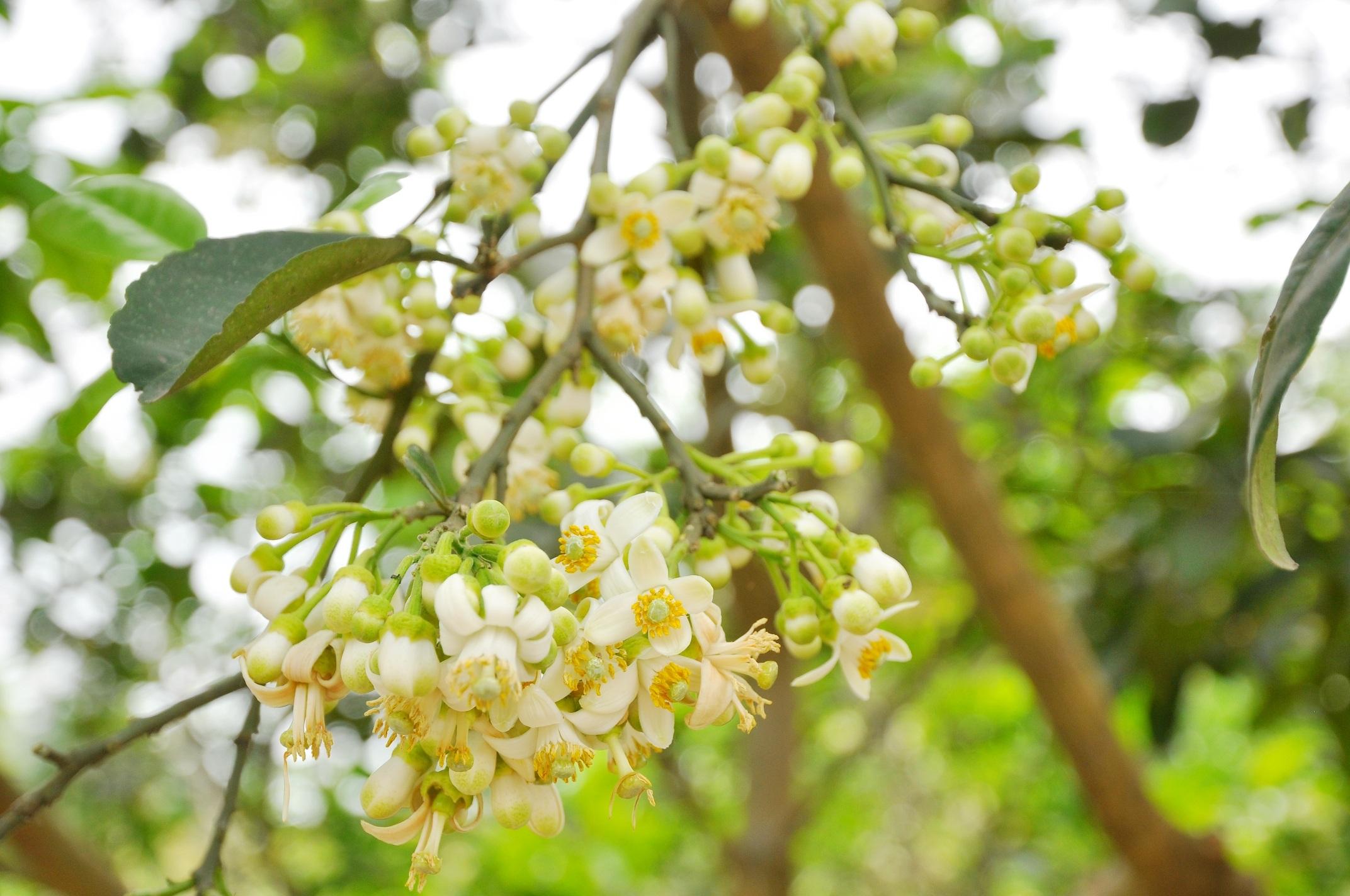 Mùa hoa bưởi về cũng là thời điểm chuyển giao giữa tháng, kết thúc cái se se lạnh của mùa xuân và báo hiệu mùa hè sắp về