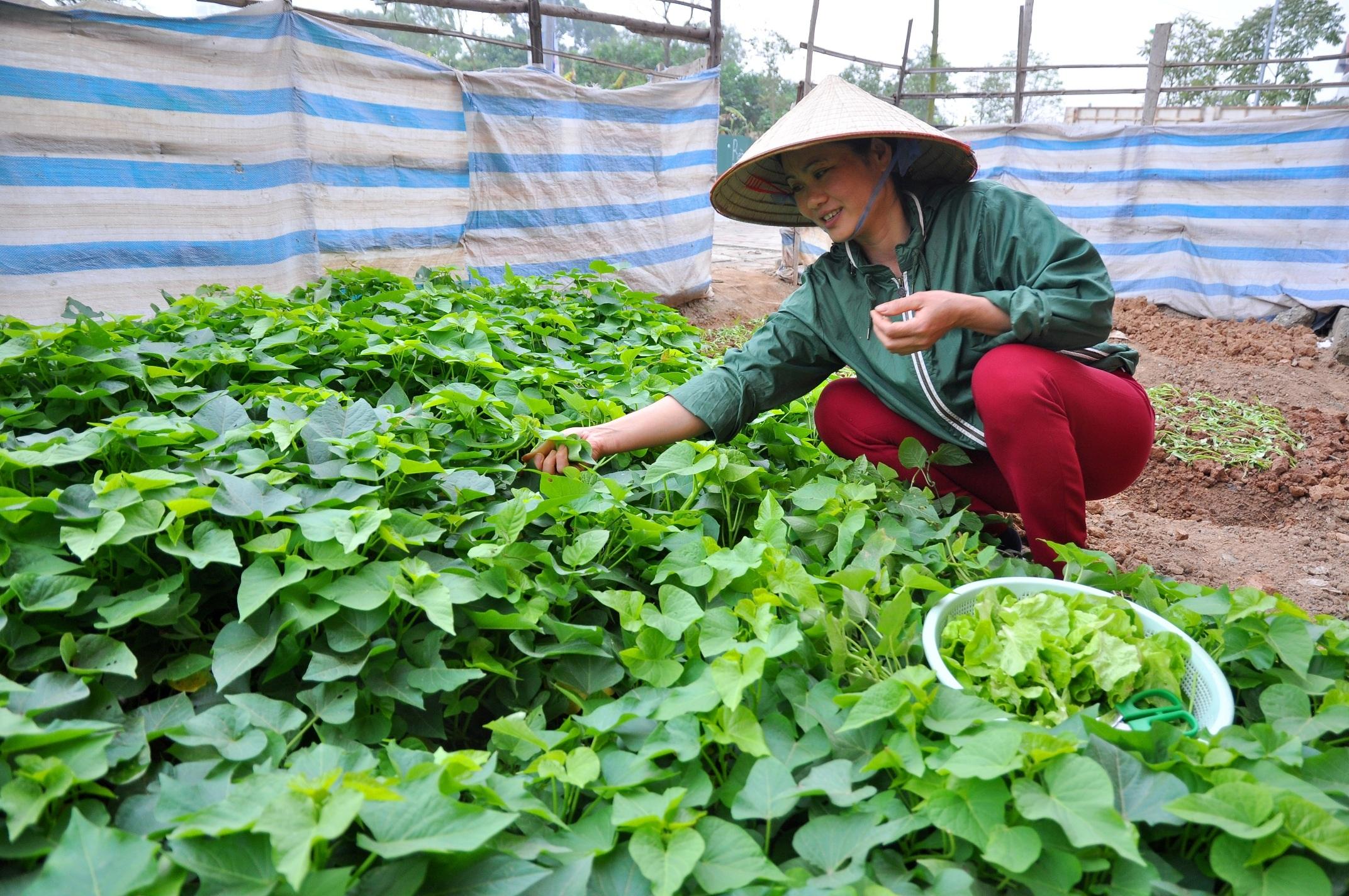 Chị Nguyễn Thị Hồng ở cách xa khu đô thị Trung Văn vài km, nhưng thấy đất để không rất lãng phí nên quyết định chọn một khu đất để gieo trồng. Chi cho biết, mỗi ngày hai lần chị đạp xe hoặc đi bộ tới đây để chăm sóc và hái rau về ăn.