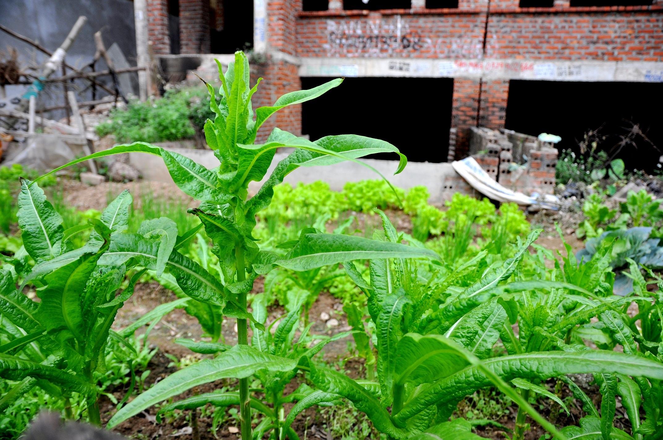 Những luống rau xanh mơn mởn với đủ loại từ các rau ngắn ngày như rau muống, cải đến các loại củ quả như cà chua, rau bí hay khoai lang.