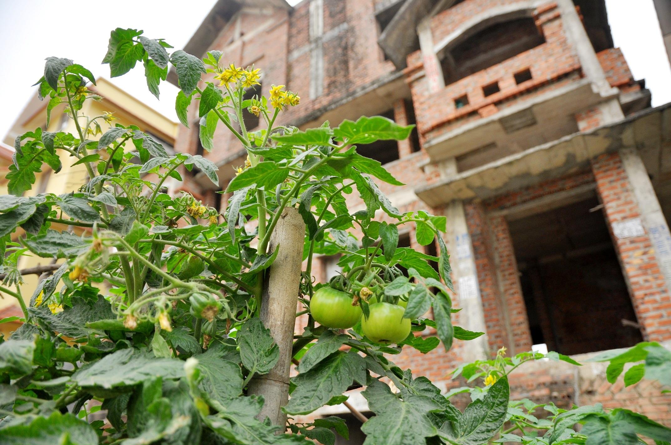 Khu đô thị Trung Văn nằm ở phía Tây Nam Hà Nội được hoàn thành cơ bản vào năm 2008, nhưng đến nay nhiều căn biệt thự vẫn bị bỏ trống, chưa có người ở. Tận dụng những khoảng đất trống quanh biệt thự, người dân quây rào trồng rau, nuôi vịt.