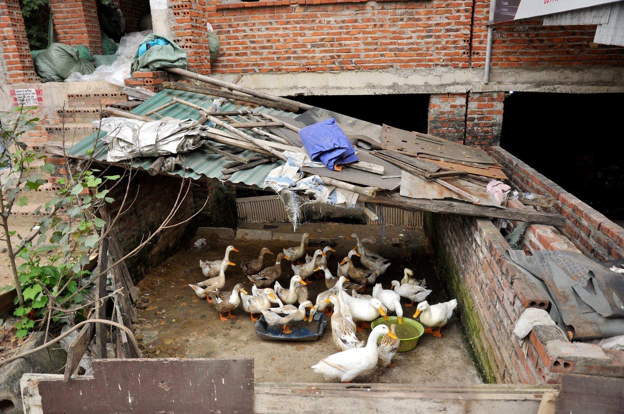 Ở khu đô thị Trung Văn còn có hộ dân tận dung biệt thự bỏ không để nuôi gia cầm.