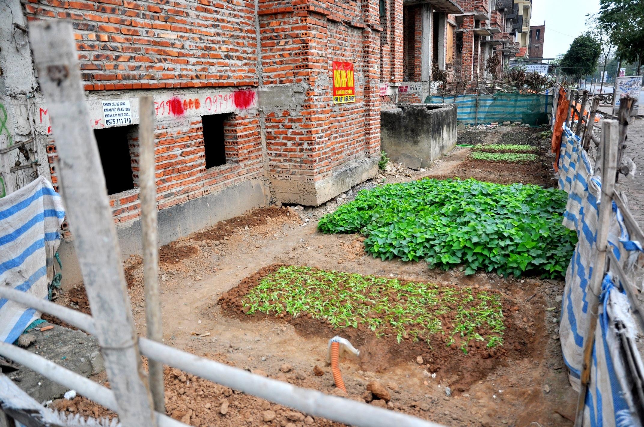 Vườn rau được trồng ngay trước một căn biệt thự bỏ hoang
