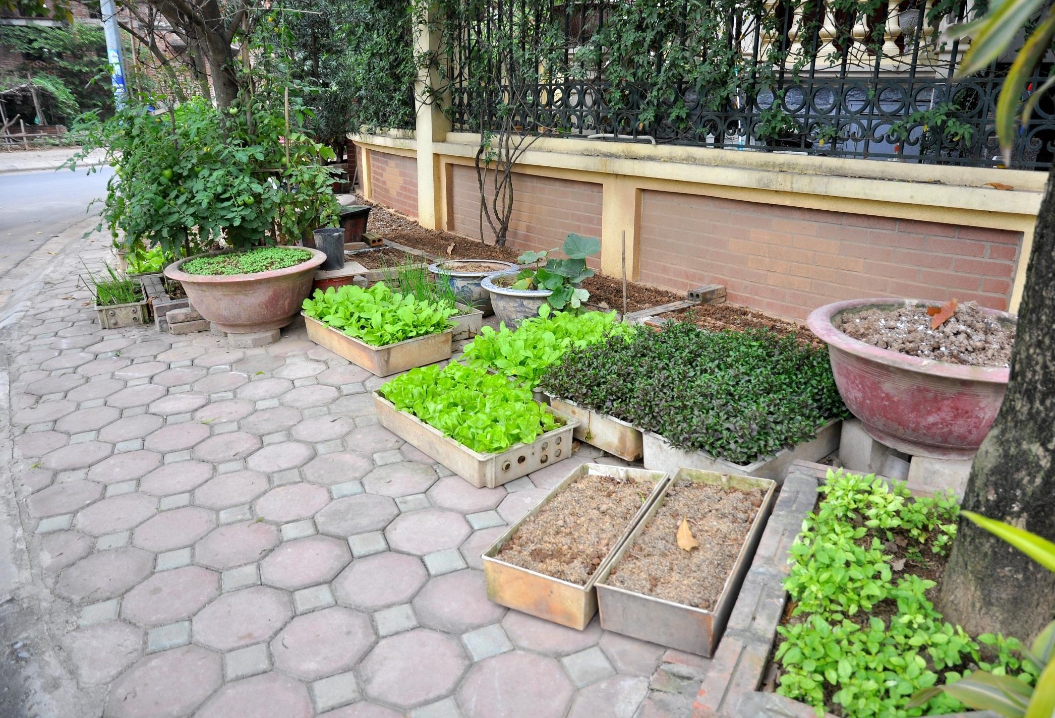 Không chỉ trồng rau tại các căn biệt thự bỏ hoang, ông Đệ còn tận dụng khoảng sân trước nhà, trồng rau trong các thùng xốp.