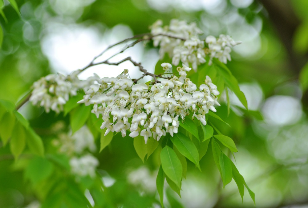 Ở Hà Nội, hoa sưa thường nở vào đầu tháng 3, khi tiết trời bắt đầu ấm áp. Những cánh hoa sưa trắng muốt, tinh tế báo hiệu sự chuyển giao giữa xuân sang hè.