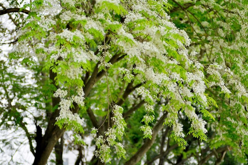 Những bông hoa trắng muốt quyến luyến bước chân người dạo phố.