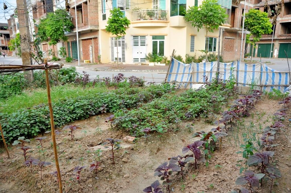 Ở khu đô thị Tân Triều (Hà Đông), người dân còn tận dụng cả vỉa hè để trồng rau sạch.