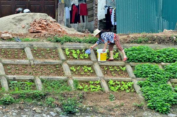 Rau được trồng cạnh bờ sông ô nhiễm, song phát triển tươi tốt và không có sâu bọ. Người dân ở đây cho hay họ tự tay chăm sóc, dùng nước để tưới nên đảm bảo là rau sạch 100%.
