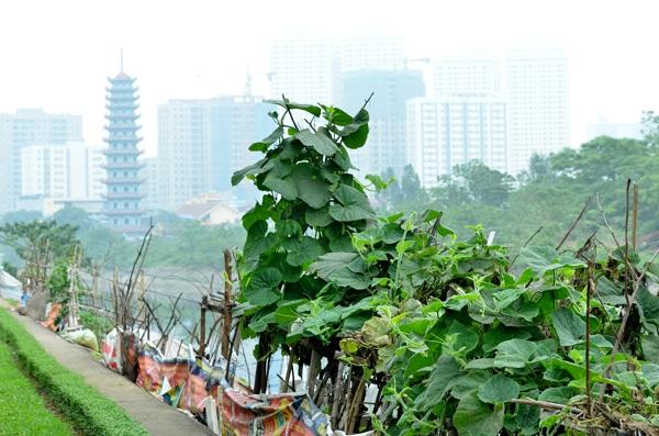 Những ngọn rau bí xanh tốt mọc quanh bờ sông.